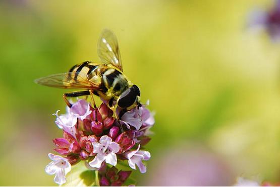 attirer les abeilles trendy charme abeilles en bombe with attirer les abeilles il pare les. Black Bedroom Furniture Sets. Home Design Ideas