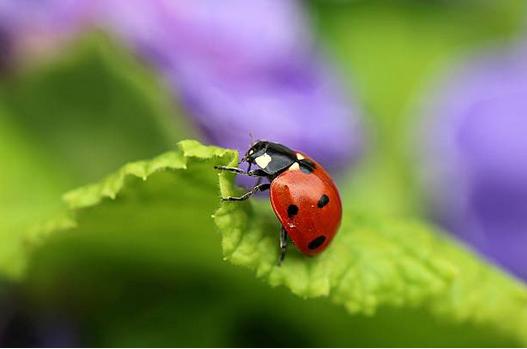 Coccinelles, papillons, etc. : quelles plantes pour les attirer dans son jardin ?